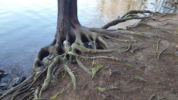 Lake tree roots